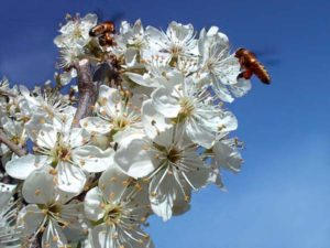Bees pollinating plum blossoms