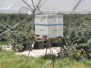 Hives in blueberry tunnels