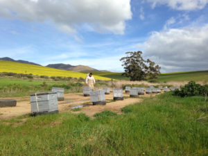 Prepping bee hives on canola in the Overberg